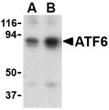AP30089PU-N - ATF6 alpha