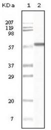 AM20162SU-N - Cytokeratin 1
