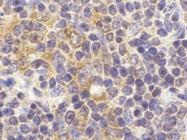 AP30907PU-N - CD289 / TLR9