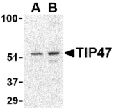 AP30884PU-N - TIP47 / M6PRBP1