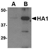 AP30106PU-N - Influenza A H5N1