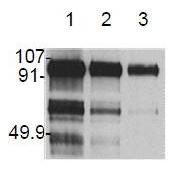 AM20164PU-N - Hepatocyte growth factor / HGF