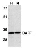 AP30115PU-N - CD257 / BAFF