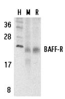 AP30116PU-N - CD268 / BAFFR