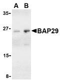 AP30121PU-N - BCAP29 / BAP29