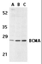 AP30133PU-N - CD269 / BCMA
