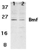 AP30157PU-N - BMF