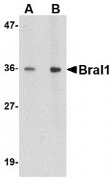 AP30163PU-N - Brain link protein 1 / BRAL1