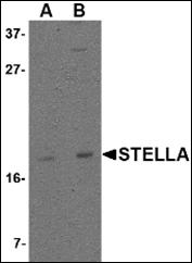 AP30836PU-N - STELLAR / DPPA3