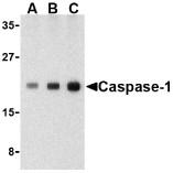 AP30187PU-N - Caspase-1