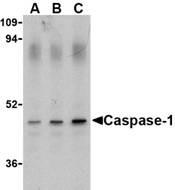 AP30188PU-N - Caspase-1