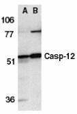 AP30190PU-N - Caspase-12