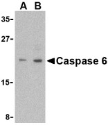 AP30201PU-N - Caspase-6