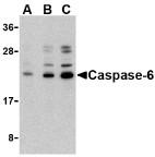 AP30202PU-N - Caspase-6