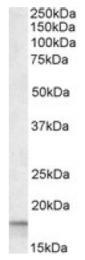 AP16444PU-N - Cyclophilin A