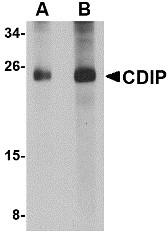 AP30219PU-N - LITAF-like protein