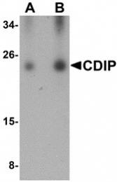 AP30220PU-N - LITAF-like protein