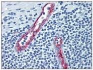 AM05567PU-N - CD62P / P-Selectin