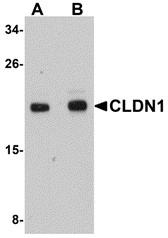 AP30236PU-N - Claudin-1 / CLDN1