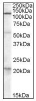 AP16995PU-N - DAGLA