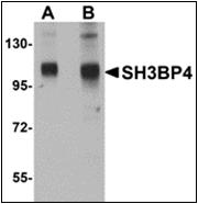 AP30775PU-N - SH3BP4