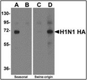 AP30770PU-N - Seasonal H1N1 Hemagglutinin
