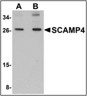 AP30762PU-N - SCAMP4