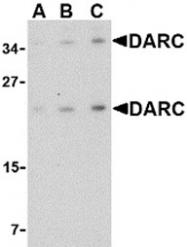 AP30273PU-N - CD234 / DARC