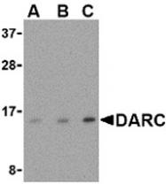AP30274PU-N - CD234 / DARC