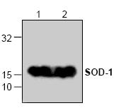 AP00192PU-N - Superoxide Dismutase 1 / SOD1