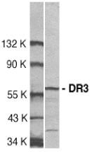 AP30296PU-N - TNFRSF25 / DR3 / TRAMP