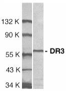 AP30297PU-N - TNFRSF25 / DR3 / TRAMP