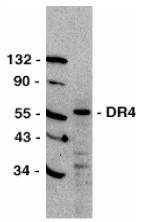 AP30299PU-N - CD261 / TRAILR1