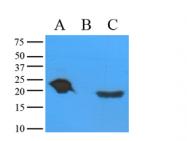 SM6001 - Alpha-crystallin A chain