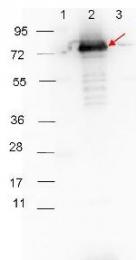 R1454HRP - Rabbit IgG