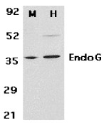 AP30316PU-N - Endonuclease G