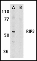 AP30729PU-N - RIPK3 / RIP3