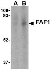AP30327PU-N - FAF1