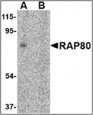 AP30706PU-N - UIMC1 / RAP80