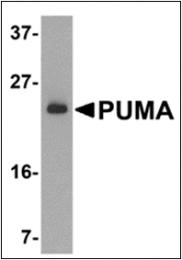 AP30702PU-N - PUMA