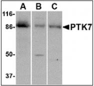 AP30699PU-N - PTK7 / CCK4
