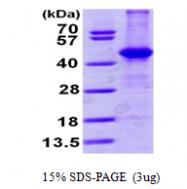 AR09597PU-L - Aminoacylase-1 / ACY1