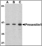 AP30692PU-N - Presenilin-1