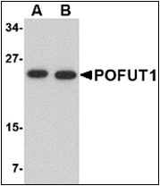 AP30683PU-N - POFUT1