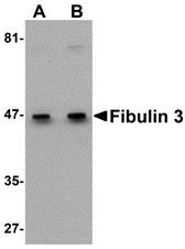 AP30337PU-N - Fibulin-3