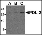 AP30656PU-N - CD273 / PDL2