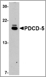 AP30653PU-N - PDCD5