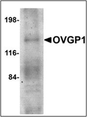 AP30637PU-N - Mucin-9