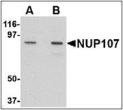 AP30619PU-N - NUP107