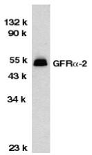 AP30362PU-N - GFRA2 / GDNFR-beta